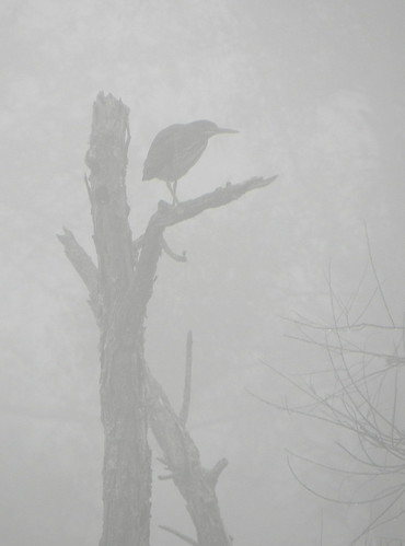 Green heron in the mist
