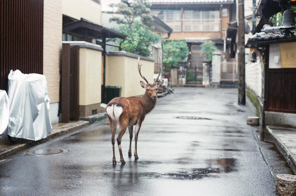 鹿 嚴島(Itsuku-shima)広島 Hiroshima 2015/08/31 一直叫他回頭看一下我的鏡頭。  Nikon FM2 / 50mm Kodak UltraMax ISO400 Photo by Toomore