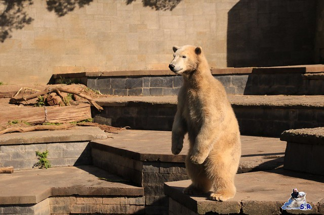 Eisbär Fiete im Zoo Rostock 26.09.2015   0208