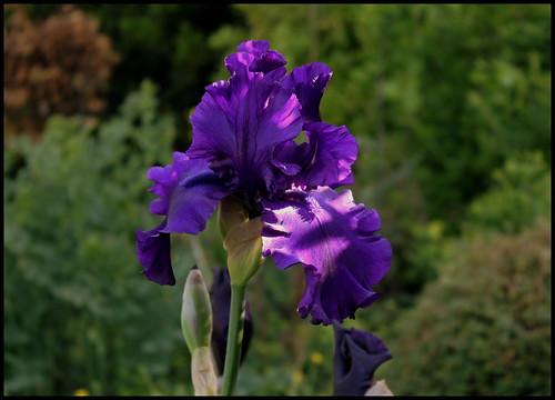 Iris Dusky Challenger (1)