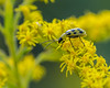 Spotted Cucumber Beetle on Goldenrod-7309.jpg by weatherfordm25