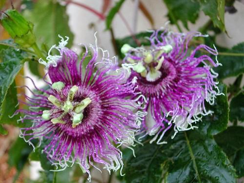 Passiflora 'Byron Beauty'