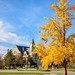 Ginkgo Tree  and the Wayne County Courthouse