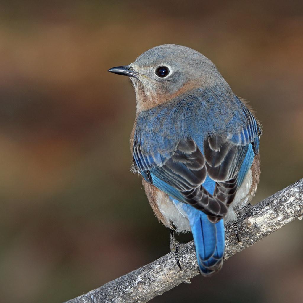 Bluebird, female