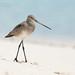 Black Tailed Godwit - Limosa limosa
