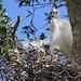 Intermediate egret by marj k