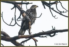 Bald Eagle 7628
