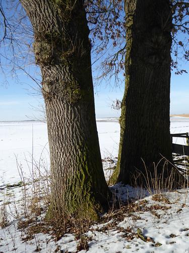 Stiel-Eichen bei Lauben / Unterallgäu Ende Januar , NGIDn243408763