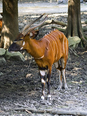 Memphis Zoo 08-31-2016 - Bongo 8