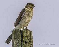 Accipiters (Hawks)