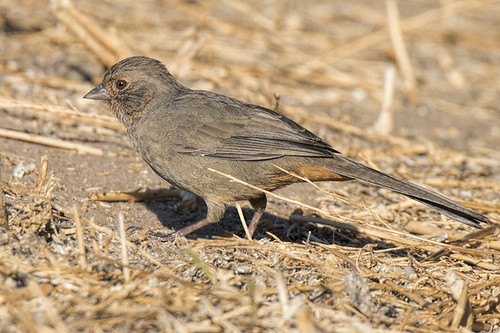 Lake Los Carneros, CA: California Towhee