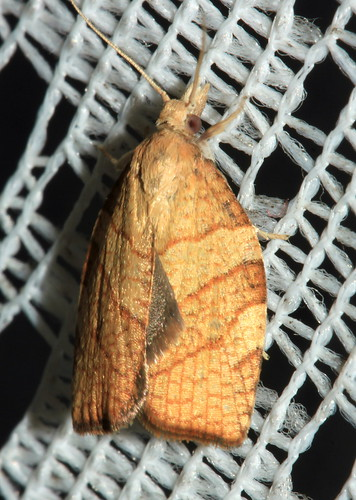 Chequered Fruit-Tree Tortrix 2426