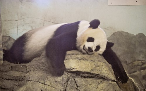 This is What It Looks Like When a Panda Passes Out
