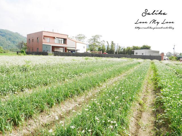 桃園大溪景點中新里韭菜花 (20)