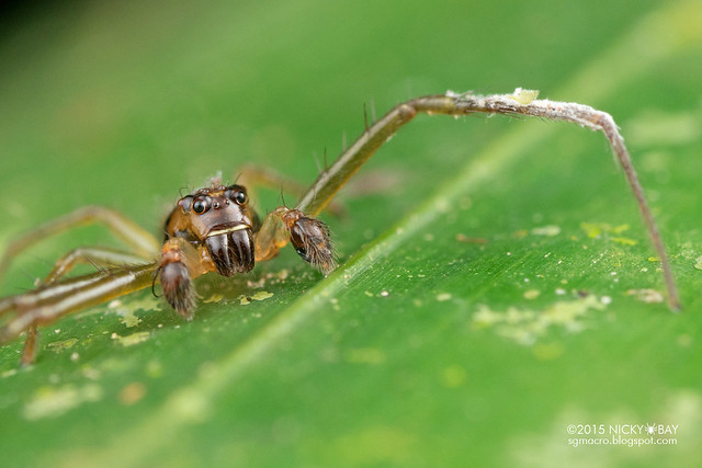 Crab spider (Thomisidae) - DSC_3728