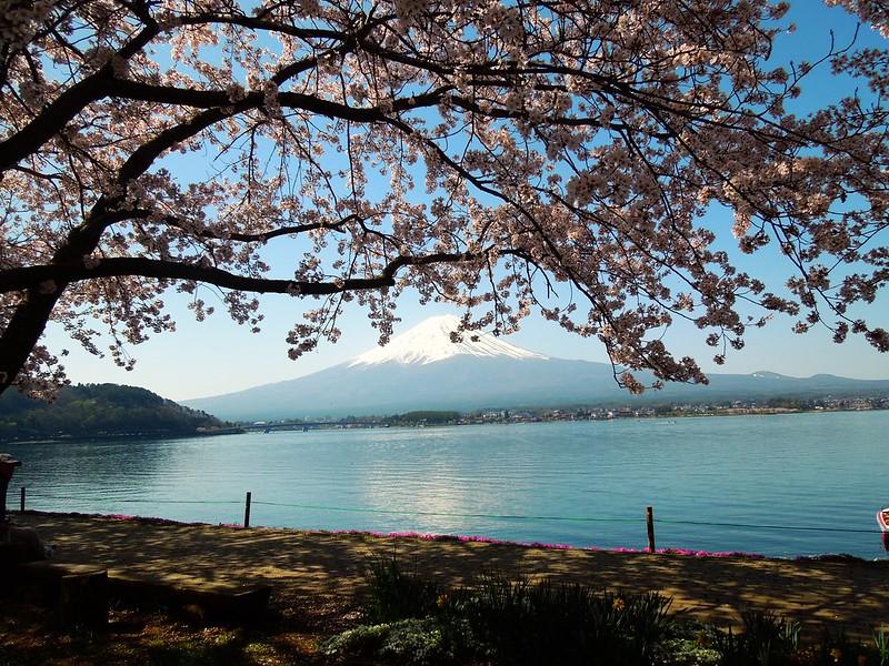 河口湖 富士山と桜 Lake Kawanakako – Mt. Fuji and cherry blossoms-0002