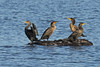 Double-crested Cormorants by Brian E Kushner