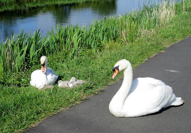 Swans + Cygnets 2