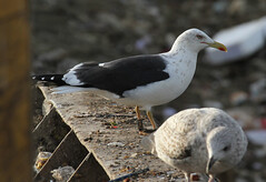Goéland brun - Larus fuscus - Lesser Black-backed Gull - J1HR