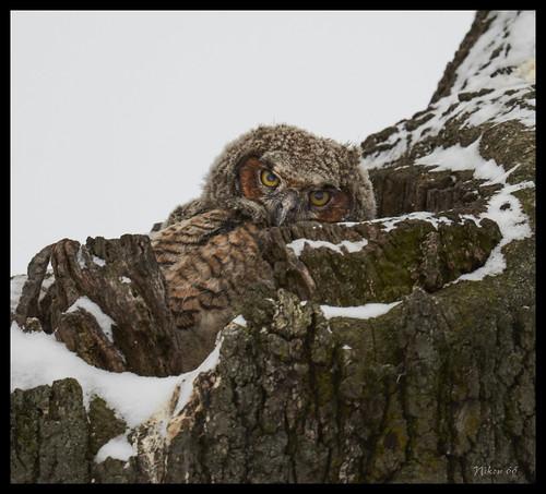 greathornedowl owl chicks carondeletepark stlouis missouri nikon d800 600mmnikkor