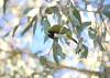 White-naped honey-eater