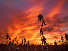Soybean Sunset