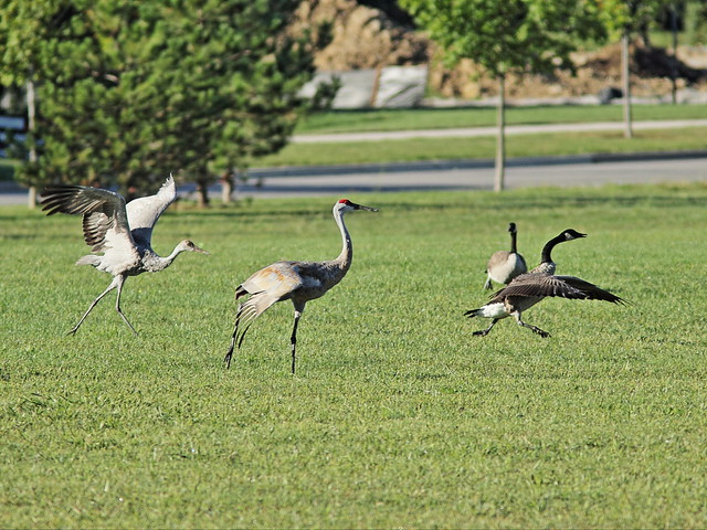 Sandhill Crane colt chases goose 3-20150913