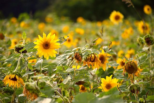 秋のヒマワリ Sunflower field (2)