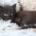 Small photo of NL* Titran's Ambrosius Aurelianus 1 months old male kitten
