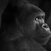 Gorilla in the Frankfurt Zoo by pierre.aden