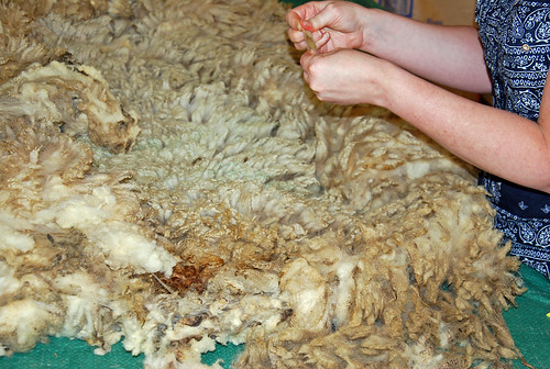 Examining Olde English Babydoll Southdown raw wool from Laurie's Little Lambs Louth Ontario