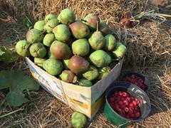 2015-08-31 harvest pears IMG_2885