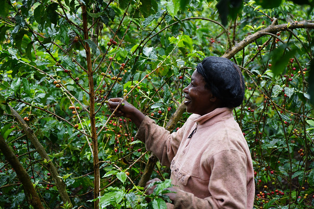 Kieni farmer picking her trees