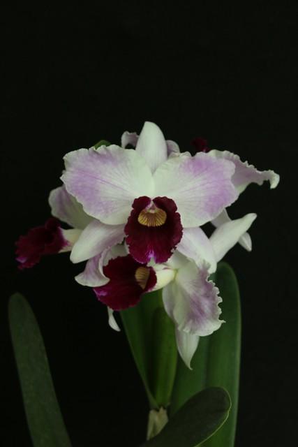 Laelia purpurata tipo - cultivo Daniel Chambart - vencedora foto 3
