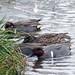 Green winged teal feeding in the rain by kkdemien