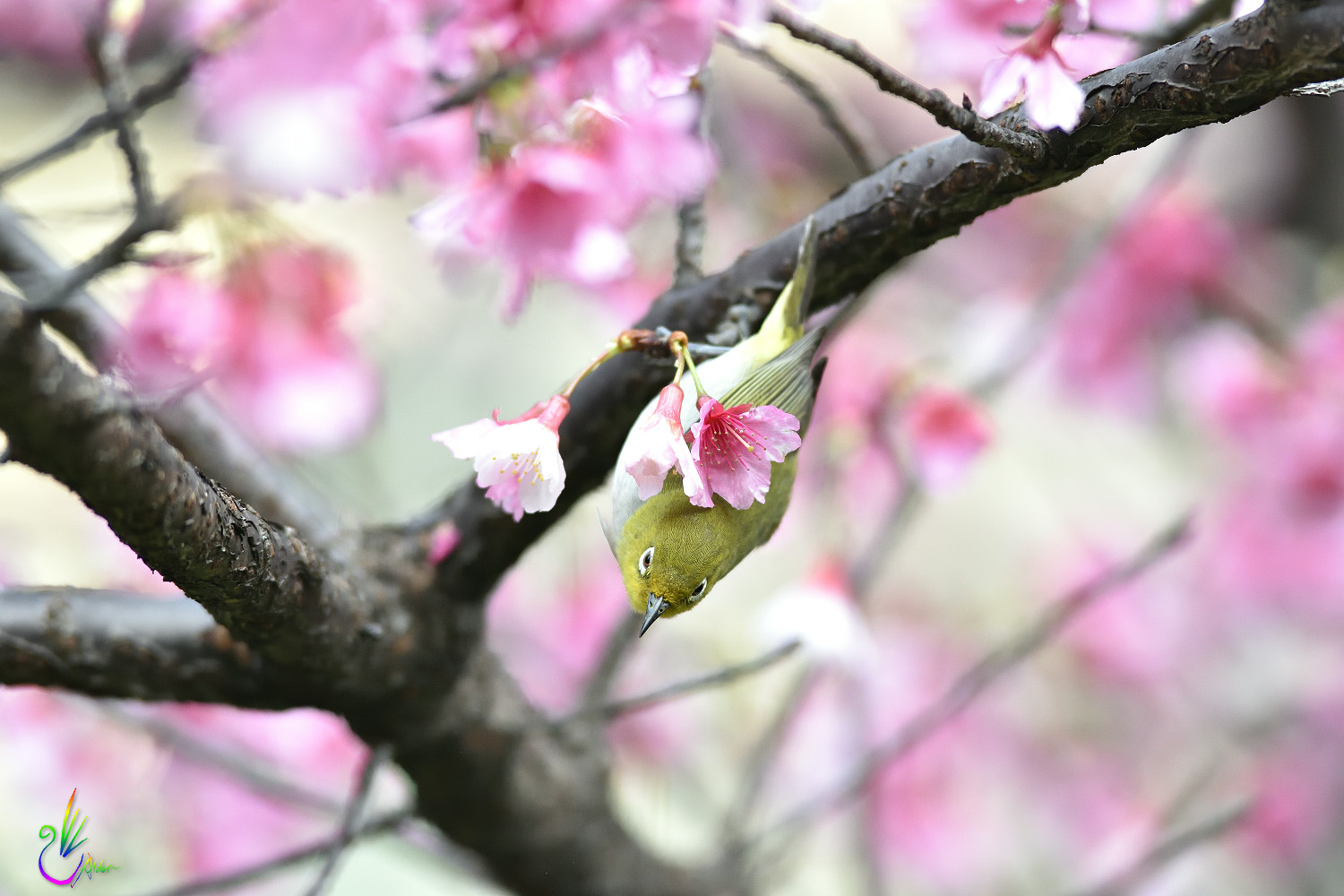 Sakura_White-eye_5068