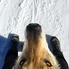Grissina sempre tra i piedi :heart_eyes: #amore mio! #snow #happyday #livigno #relax #funny #nasona #tantoamore #cuoricino #lupocecoslovacco #wolfdog #cezchoslovakianwolfdog