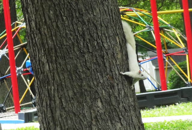 albino-squirrel-tree