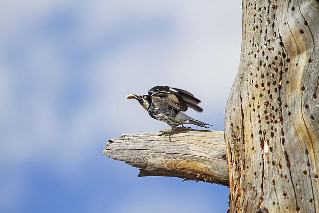 Acorn Woodpecker 7d1_2471