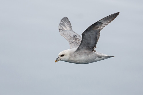 Northern Fulmar (Stormfågel)