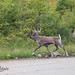 Caribou Forestier / Woodland Caribou by Eric Bégin Passion Photo