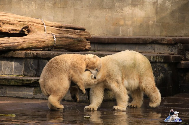 Eisbär Fiete im Zoo Rostock 26.09.2015   0181