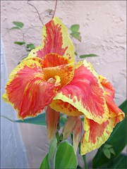 Canna lily, open