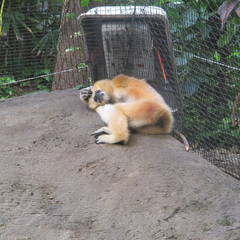 Female white-cheeked gibbon