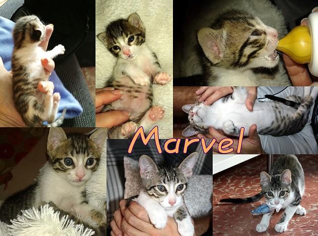 FALLECIDO- Marvel, gatito blanquipardo bebé en Adopción Especial, nacido en Junio´15, en adopción. Valencia. 22386752969_7786059b71_z