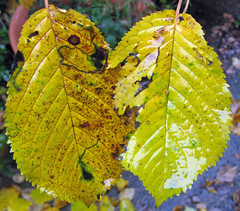 Autumnal Cherry Leaves