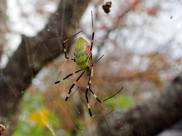Jorō Spider (Nephila clavata, ジョロウグモ)