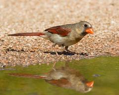 Northern Cardinal Reflections