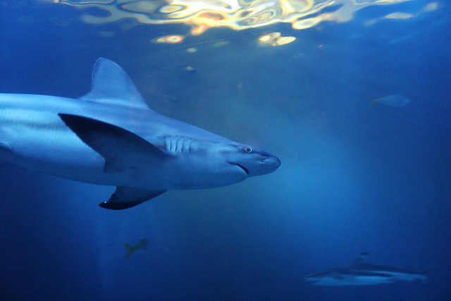 Shedd Aquarium- Shark