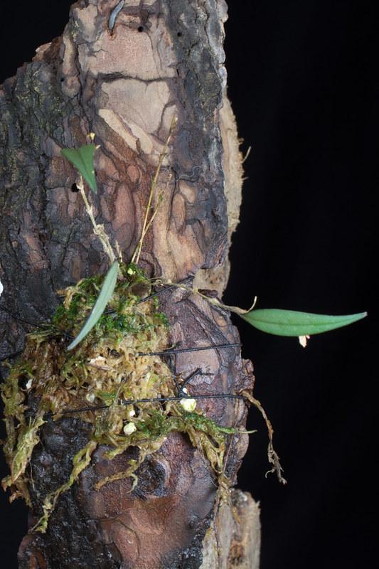 Miniatur-Orchideen 2. Teil - Seite 22 23702423545_0b0cea350e_c